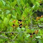Yellow and Dark Berries on Tree